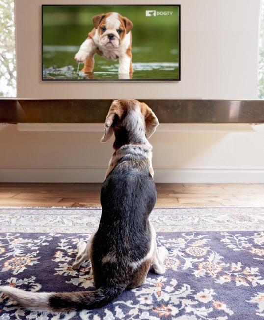 PlanetHundo lancerer streamingtjenestetil hunde i Danmark